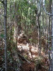 Le combat dans les bois de pins