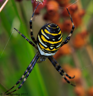 Female Wasp Spider~Argiope bruennichi