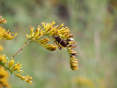 Goldenrod (Solidago sp.)