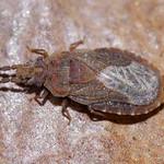 kis kéregpoloska - Aradus cinnamomeus