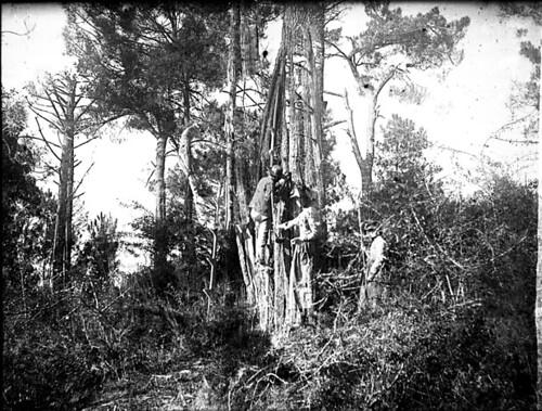 Récolte de la résine, Arcachon, septembre 1890