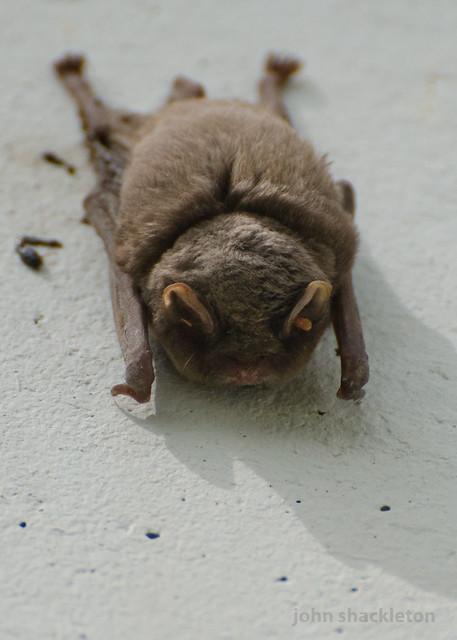 Bat / Murciélago
