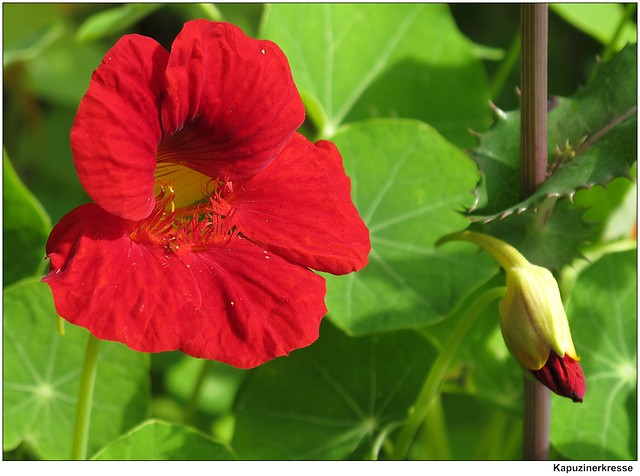 kapuzinerkresse tropaeolum nasturtium flickr photo. Black Bedroom Furniture Sets. Home Design Ideas