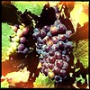 Cab Franc ripening on the Golden Mile in Oliver.