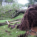 Photo of the Week - Tree uprooted by Hurricane Irene (NJ)