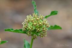 Pineland Milkweed