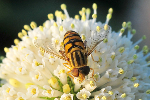 Syrphid Fly on Buttonbush