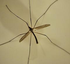 arthropod, animal, mosquito, wing, invertebrate, macro photography,