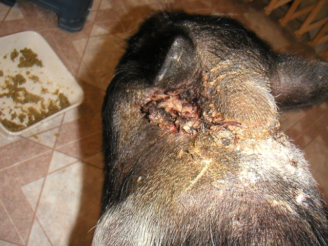 Animal Bite Infections: Definition and Patient Education