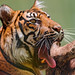 Yawning mother tiger