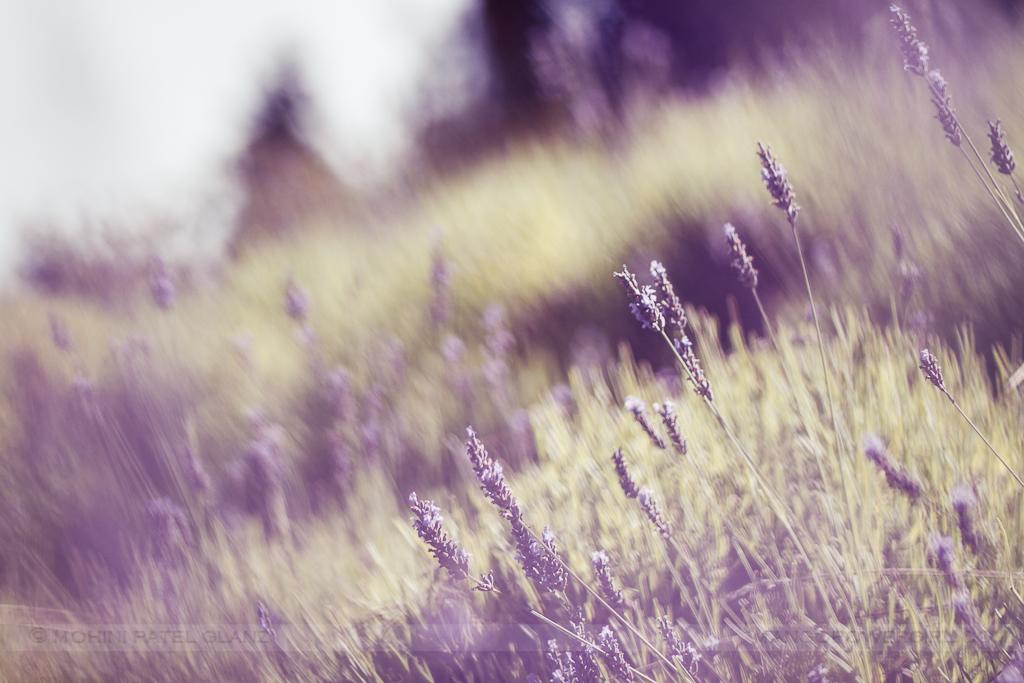 lavender hill farm 5