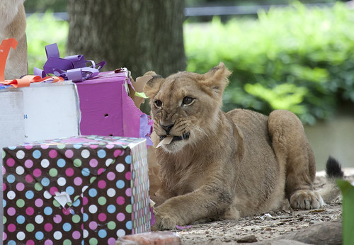 Lions Celebrate Their First Birthdays at the Smithsonian's National Zoo