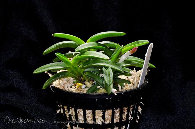 Neofinetia falcata 'Chwihwajeon'