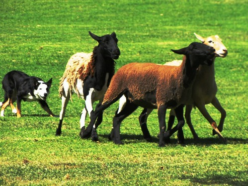 Sheep Dog Contest