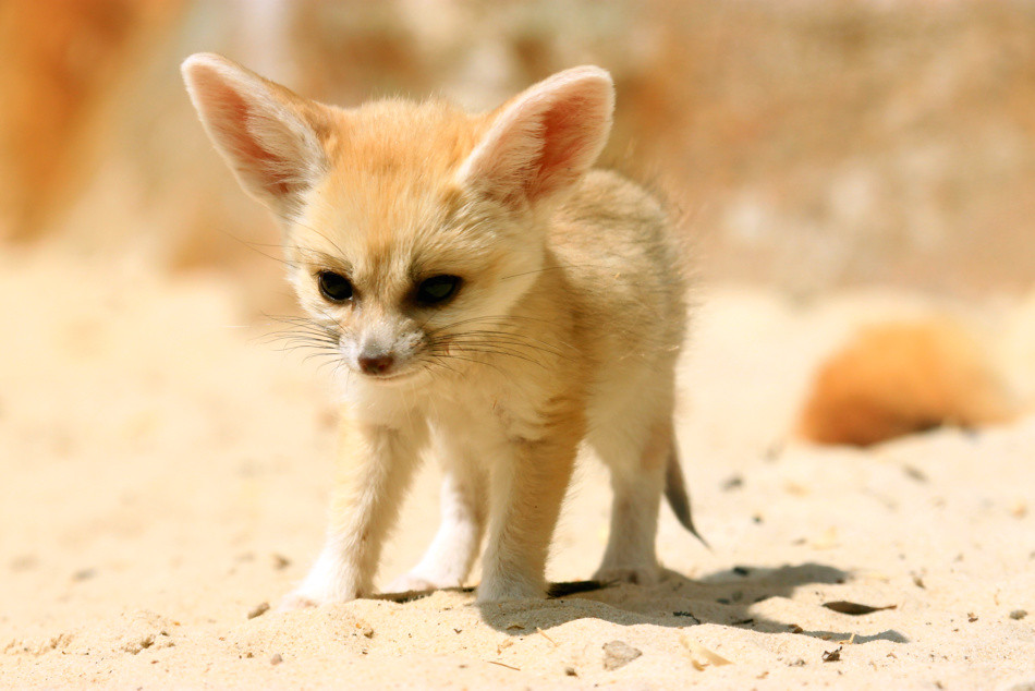 421. Fennec Foxes