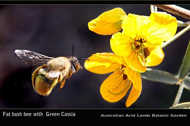 Bush Bee and Green Cassia