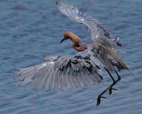 Hungry Reddish Egret