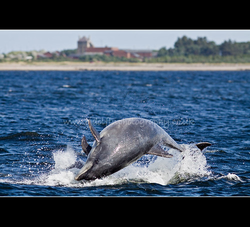 Breaching Bottlenose 21st Aug 2011
