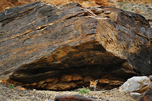 The Himalayan Red Fox
