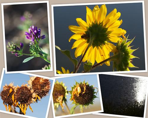 blue sky usa lake reflection yellow colorado wasp sunflowers wildflowers parker saturdaymorning douglascounty salisburyequestriancenter