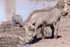 deer(0.0), sheeps(0.0), sheep(0.0), argali(0.0), horn(0.0), barbary sheep(0.0), animal(1.0), pig(1.0), fauna(1.0), pig-like mammal(1.0), warthog(1.0), wildlife(1.0),