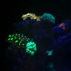 coral(0.0), fish(0.0), invertebrate(0.0), coral reef(1.0), animal(1.0), organism(1.0), marine biology(1.0), macro photography(1.0), aquarium lighting(1.0), underwater(1.0), reef(1.0), blue(1.0),