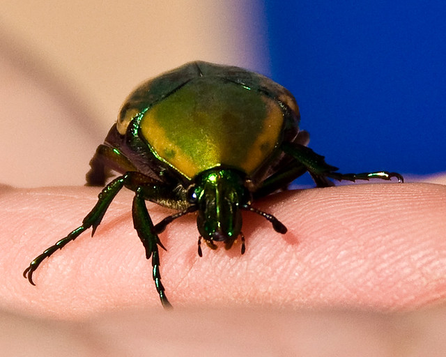 Figeater Beetle in Hand | Flickr - Photo Sharing!