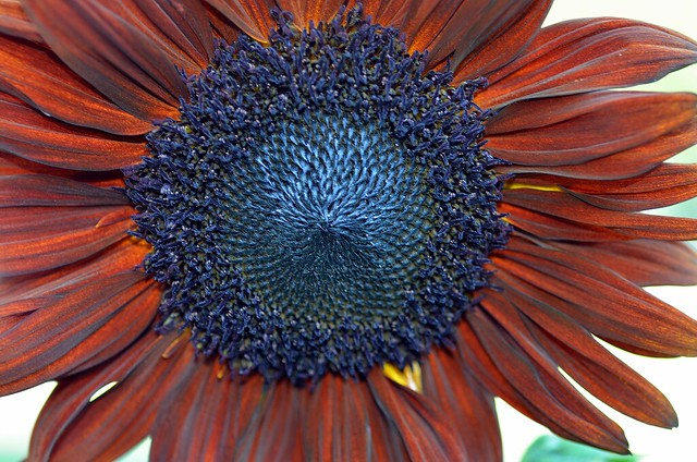 sunflower with brownish red pedals 4 full bp