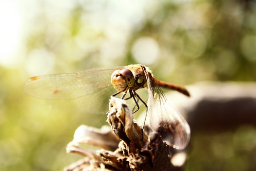 Common Darter Bokeh