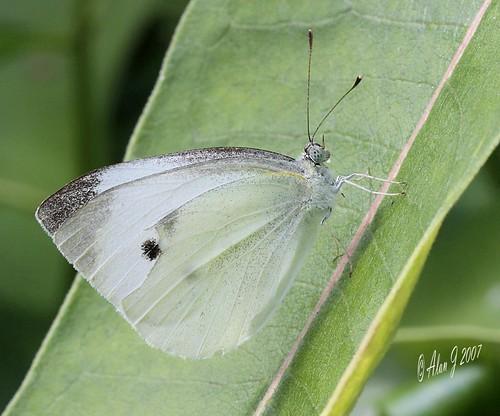 ny newyork macro canon butterfly adirondacks 7d upstatenewyork paulsmithscollege uppersaranaclake mygearandme ringexcellence 100mmmacrof28lisusm