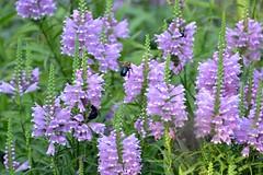 hesperis matronalis(0.0), dactylorhiza praetermissa(0.0), hyssopus(1.0), annual plant(1.0), flower(1.0), english lavender(1.0), plant(1.0), lilac(1.0), wildflower(1.0),