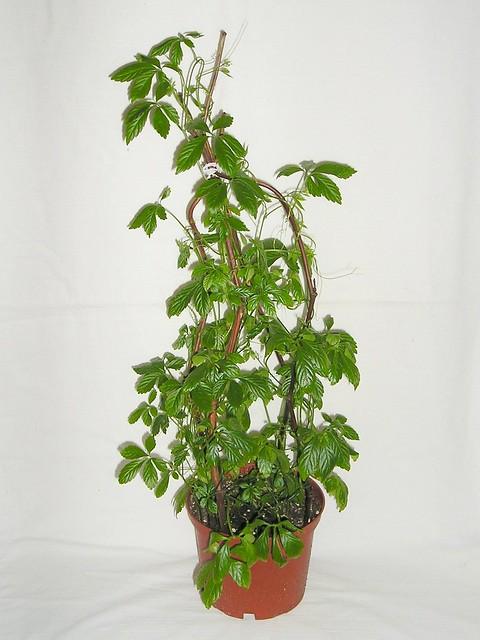 jiaogulan gynostemma pentaphyllum archivbild 2005 2009 flickr photo sharing. Black Bedroom Furniture Sets. Home Design Ideas