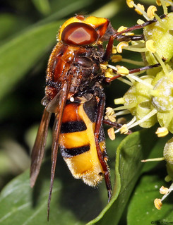 Hoverfly - Volucella zonaria female