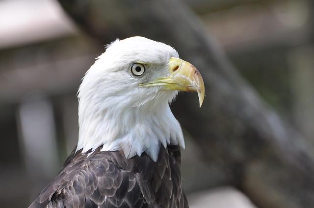 Bald Eagle closeup | Flickr - Photo Sharing!
