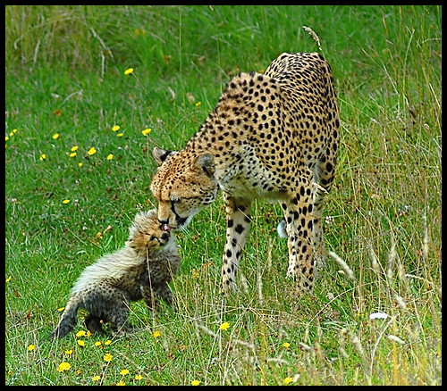 Mother and Cute Baby Cheetah