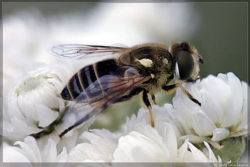 some sort of hoverfly