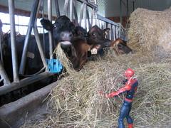 Spider-Man feeding some cows