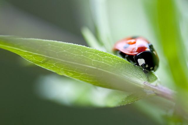 Macro: ladybird