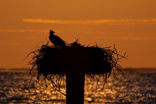 morning bird nature water silhouette sunrise dawn nest cpc northbeach chesapeake osprey calvert chesapeakebay calvertcounty