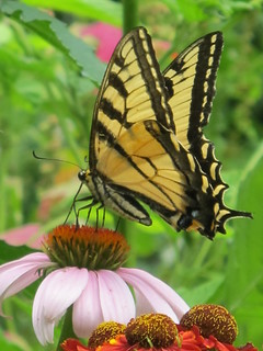 Swallowtail on Purple Coneflower...
