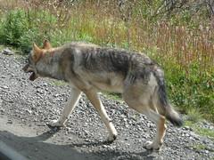animal, czechoslovakian wolfdog, gray wolf, red wolf, mammal, jackal, fauna, wolfdog, saarloos wolfdog, coyote, wildlife,