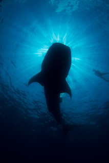silhouette of kozy and whale shark