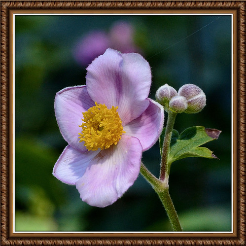 The Simplicity Of A Japanese Anemone