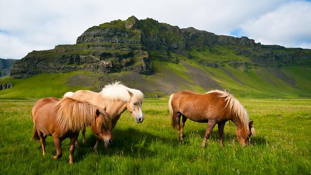 Icelandic Horses with landscape