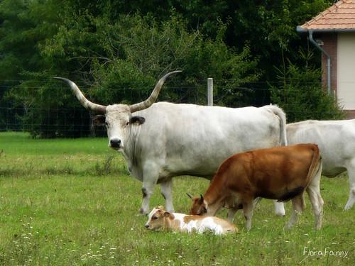 summer nature animals hungary land creatures peasant cattles