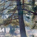Backlit-Pine