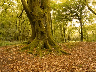 Beech Tree Golitha Woods