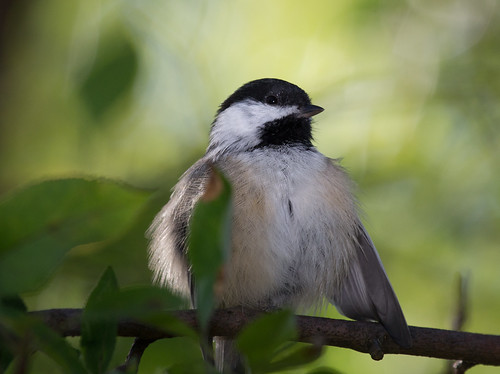 Preening Black-capped Chickadee