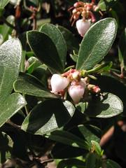 blossom(0.0), shrub(0.0), strawberry tree(0.0), produce(0.0), fruit(0.0), food(0.0), feijoa(0.0), lingonberry(0.0), evergreen(1.0), flower(1.0), leaf(1.0), plant(1.0), arctostaphylos uva-ursi(1.0), flora(1.0),