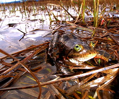 Oregon spotted frog on Conboy National Wildlife Refuge. Photo Credit: Teal Waterstrat/USFWS